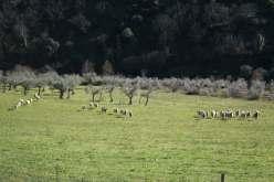 y las ovejas acercandose a la querencia