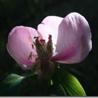 Peonía. La Rosa de los Montes.
