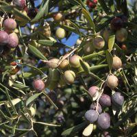 20111122 Ruta de la Aceituna y el Olivo en Castañar de Ibor. Villuercas Ibores Jara. Extremadura