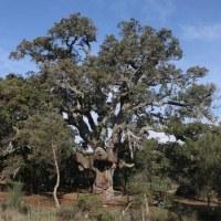 20121125 Ruta al Alcornoque de la Fresneda en Aldeanueva del Camino. Árbol Singular de Extremadura. Valle del Ambroz