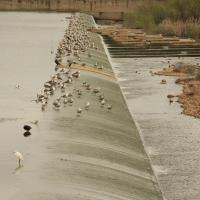 Ruta de Aves por el Azud del Río Guadiana. Vegas de Badajoz. Extremadura